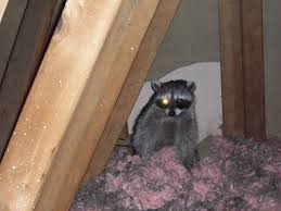 images raccoon
